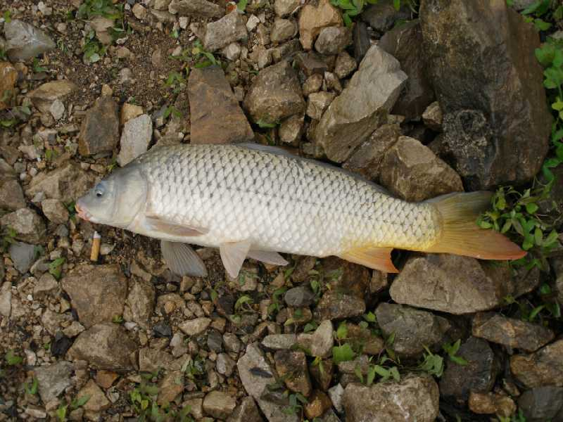 common carp pictures. common carp , small mouth