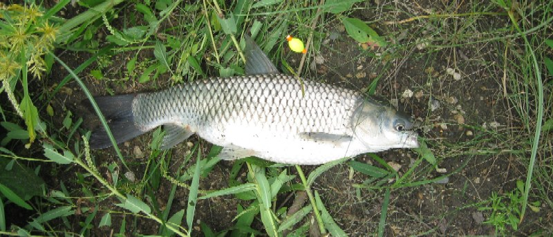 Asian carp what eats them how we might control them and for White amur fish