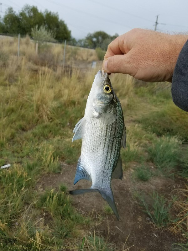 Archive of reports from various locations one of many white bass from the ditches fandeluxe Choice Image