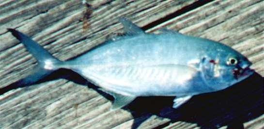 Blue runner caranx crysos for Blue runner fish