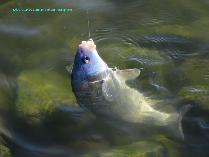 Latest combat fishing adventures and reports for Busch wildlife fishing