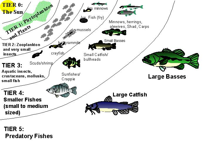 bass food for ponds  Crappie Lake Food Chain