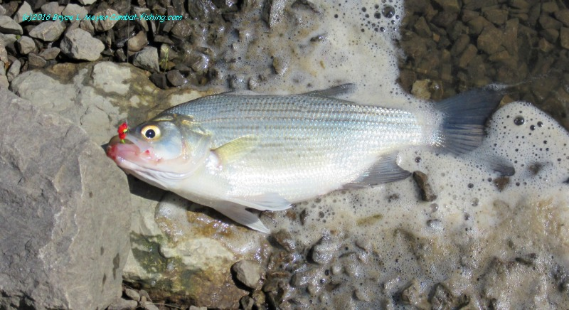 Muddy waters water and search on pinterest for White bass fishing