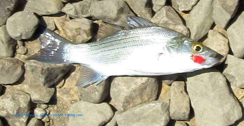 Archive of reports from various locations lots of little white bass about fandeluxe Choice Image